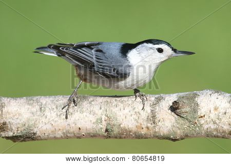 Nuthatch On A Birch Tree