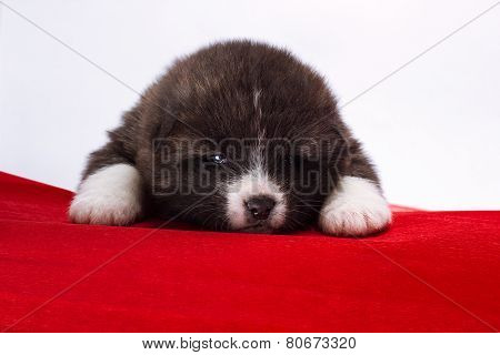 Japanese Akita-inu puppy lying on red