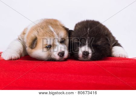 couple of Japanese Akita-inu puppies lying on red