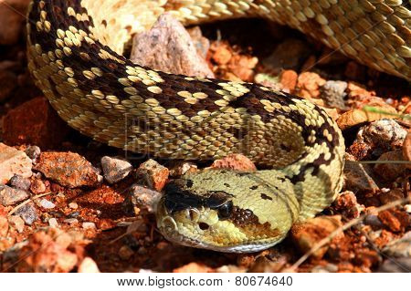 Black-tailed Rattlesnake (crotalus Molossus)