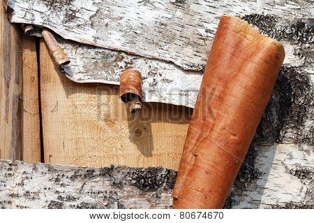 Tore a birch bark
