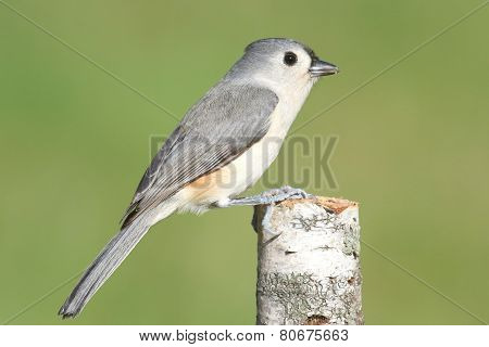 Titmouse On A Birch Stump