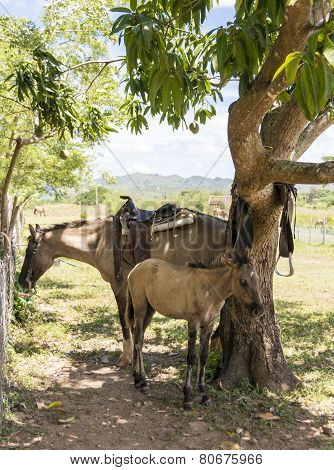 Female Horse And Colt In Cuban Farm