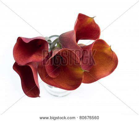 Dark Red Callas