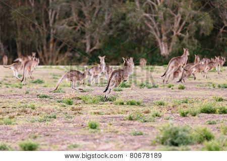 Herd Of Kangaroos Run Away