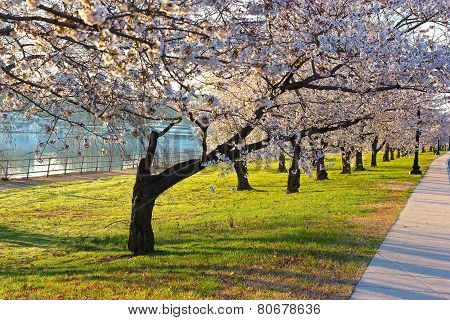 Cherry blossom abundance in East Potomac Park Washington DC.