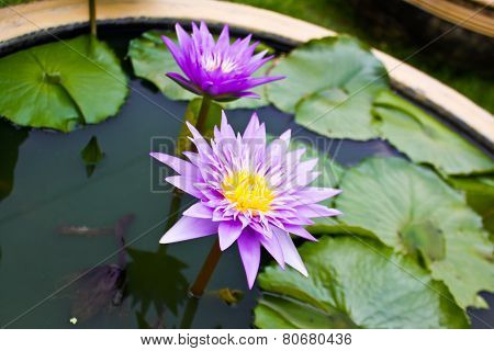 Lotus (midnight)