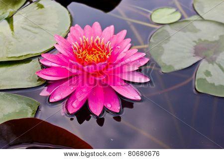Lotus (miss Siam)