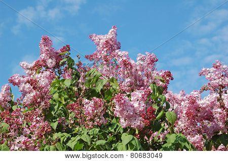 Lilac (Syringa)