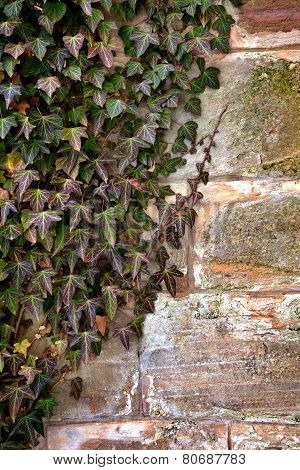 ivy and old wall