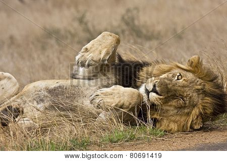 wild male lion lying down in the bush, Kruger