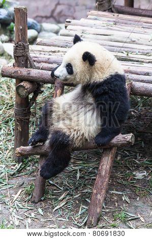 A Sitting Panda