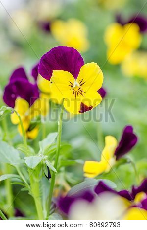 Field Of Colorful Pansy Flowers