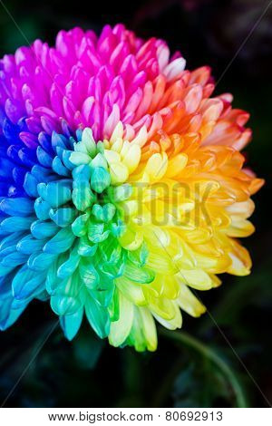 Colorful Of Rainbow Chrysanthemum Flower