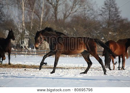 Bay Horse Running Free In Winter
