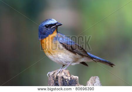 Chinese Blue Flycatcher Cyornis Glaucicomans