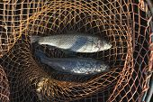 picture of trout fishing  - trout in the fishing net - JPG
