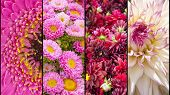 foto of lilas  - Collage of pink purple lila Dahlia and Gerbera with yellow accents in close up separated with black strips - JPG