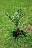picture of washingtonia  - Washingtonia filifera - JPG