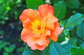 image of rosa  - Flower of rosa odorata in the flowerbed - JPG
