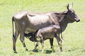 stock photo of calf cow  - Cow feeding calf in the farm during the day - JPG
