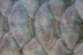 pic of fresh water fish  - Scales of fresh water fish close up - JPG