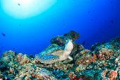 stock photo of green turtle  - A Green Turtle sits on a tropical coral reef with a Remota on its back and sunburst behind - JPG