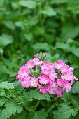 foto of lantana  - pink lantana camara flower on green background - JPG