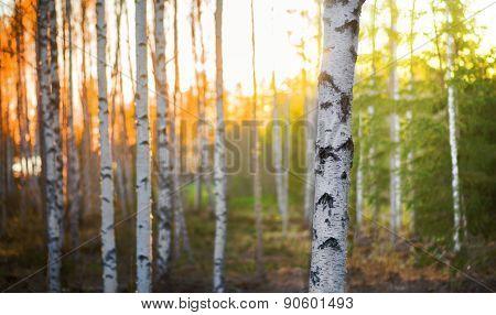 Birch Tree At Sunset