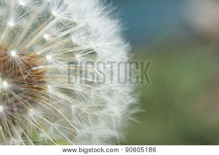 Seeding Dandelion Flower