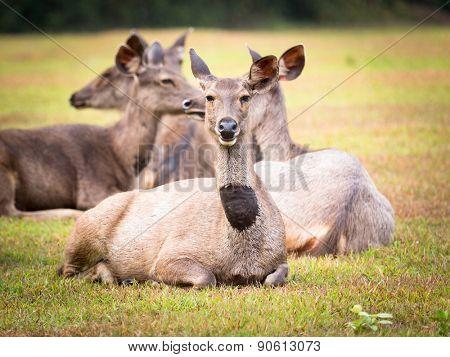 Females of the Sambar deers.