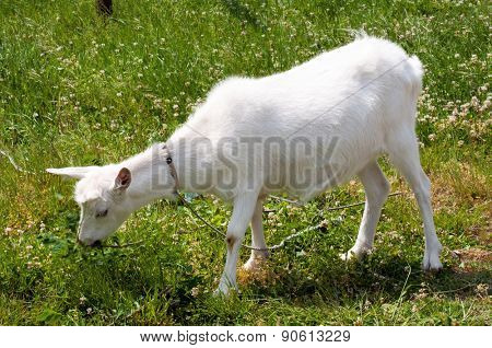 Goat grazing on the meadow