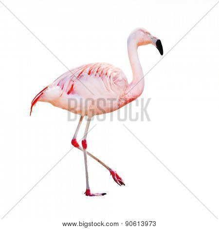 The greater flamingo (Phoenicopterus roseus) isolated on a white background.