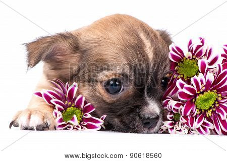 cute chihuahua puppy portrait with pink chrysanthemums