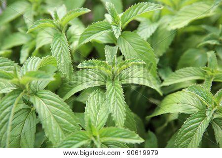Freshly Mint