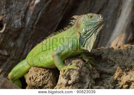 Wild Reptile Lizard Iguana
