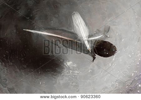 Pigeon Feathers On Water Oil Surface