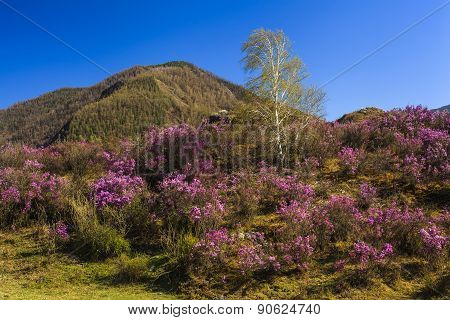 Rhododendron Bushes On The Background Of The Beautiful Mountain Scenery