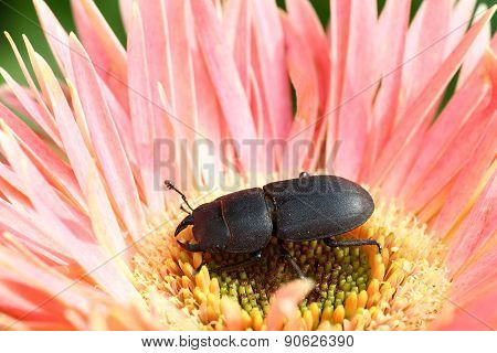 Lesser stag beetle