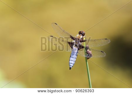A blue dragonfly at rest