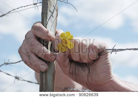 Close Up of Dirty Hands Holding Delicate Yellow Flowers and Grasping Barbed Wire Fence in Concept Image