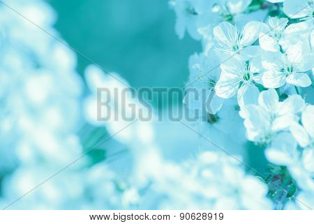 blossoming apple tree, spring flowers