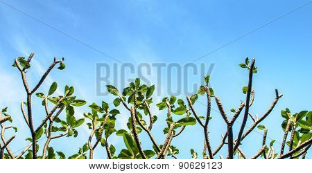 Frangipani Tree And Sky