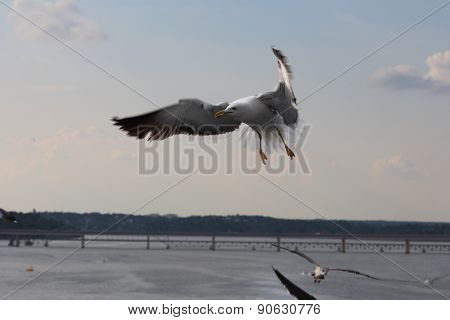 A seagull is flying on the Stockholm city. Sweden.