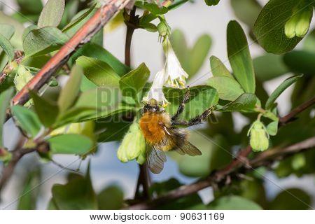 Bumblebee Bee