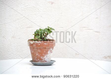Small geranium plant in terracotta pot