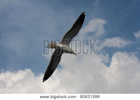 A seagull is flying on the sky.