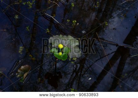 Globe Flower Bud In The Flood In The Protected Wild Spring Forest