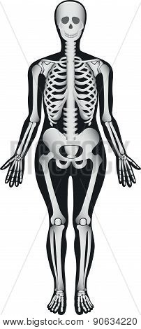 Human Skeleton - Female - Illustration