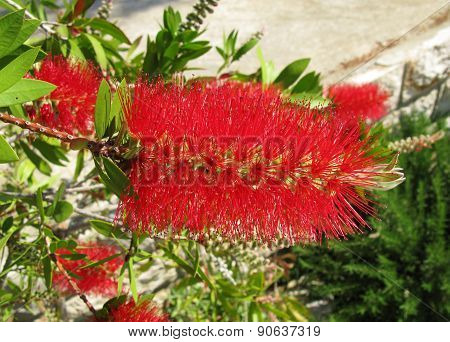 The red flower of a bottle brush tree